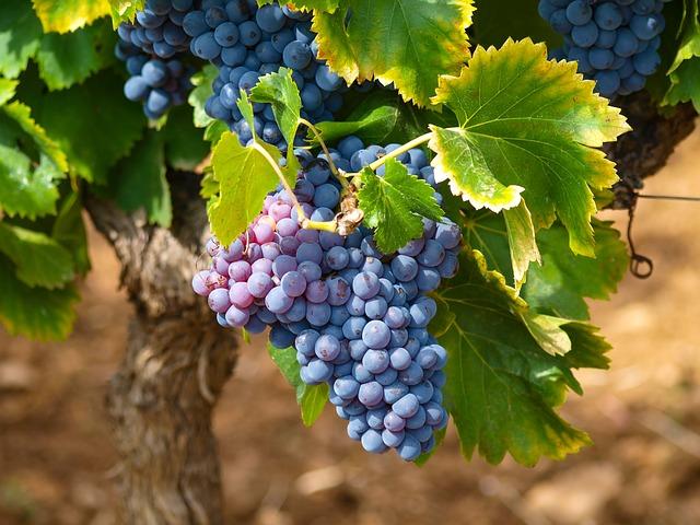 Le cépage : la matière première du vin